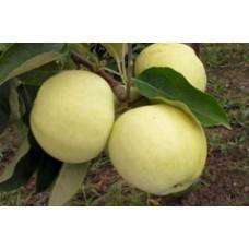 Vasarinė obelis Alyvinė