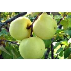 Rudeninė obelis Antaninė