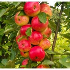 Rudeninė koloninė obelis Arbat
