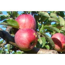 Rudeninė obelis Auksis