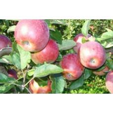 Rudeninė obelis Delikates
