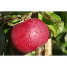 Vasarinė obelis Ženeva early