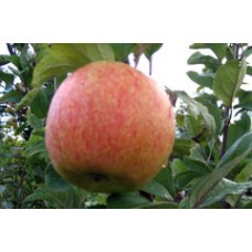 Vasarinė obelis Konfetnaja