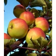 Rudeninė obelis Beržininko ananasas