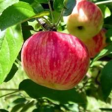 Vasarinė obelis Persikinė