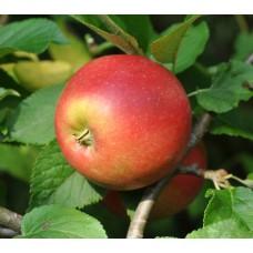 Rudeninė obelis Red Aroma