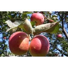 Rudeninė obelis Žiguliovskaja
