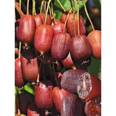 Aktinidija Scarlet september kiwi