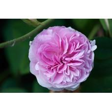 Rožė Blush Damaska
