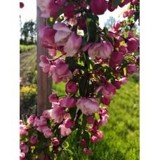 Rojaus obelis (4 įskiepiai)