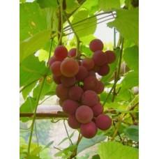 Vynuogė Guna