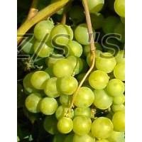 Vynuogė Gailė