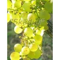 Vynuogė Meda