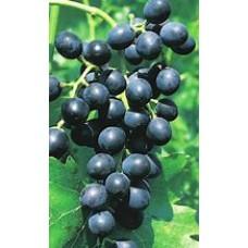 Vynuogė Muscat Bleu