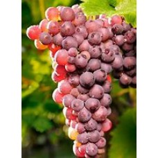 Vynuogė Reliance