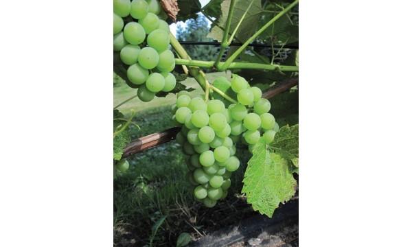 Vynuogė Selė