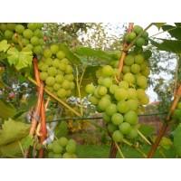 Vynuogė Varduva
