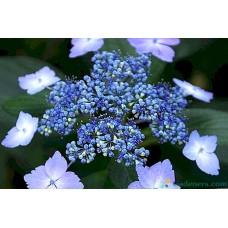 Hortenzija Bluebird