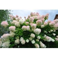 Hortenzija šluotelinė  Grandiflora